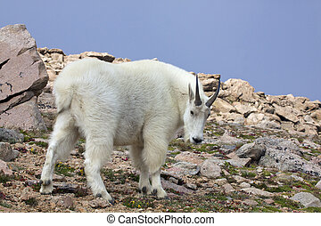 Mountain Goat in High Country