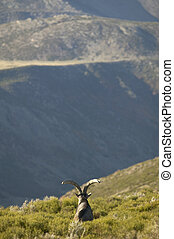 Mountain goat in the countryside. Spain