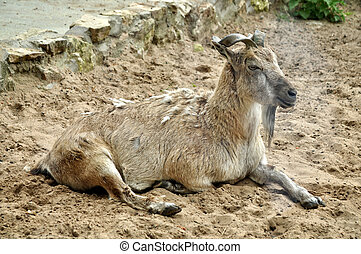 Mountain goat lying and heated in the sun.