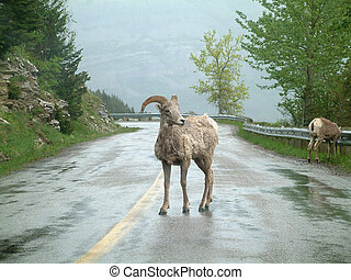 mountain goat - Mountain goat in Waterton Lakes NP, Canada.