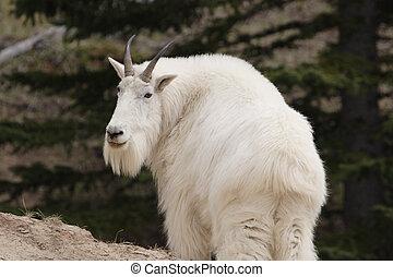 Mountain goat. - Mountain goat shot in Yoho National Park,...