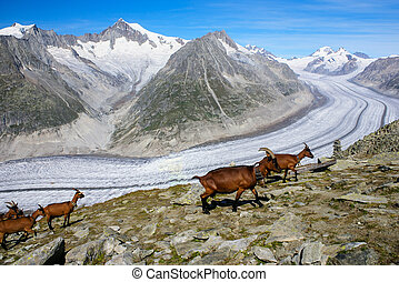 Mountain goat on a background of the glacier aletchs