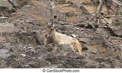 Mountain goat resting on a rocky slope