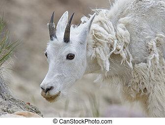 Mountain Goat Shedding its Winter Coat - Jasper National Park