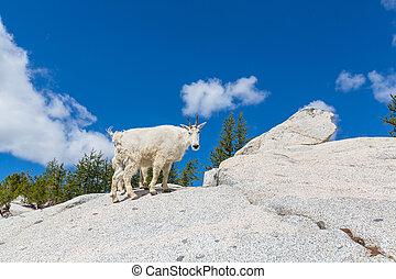 Mountain goat - Wild Mountain Goat in Cascade mountains