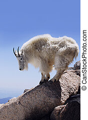 Mountain Goat - Vertical Format - A mountain goat balances...