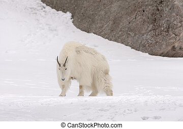 Mountain goat walking in the snow