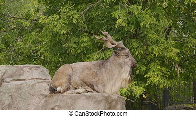 Mountain goat with big horns, lying on a rock.