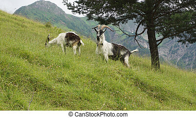 Mountain goats in the Alps