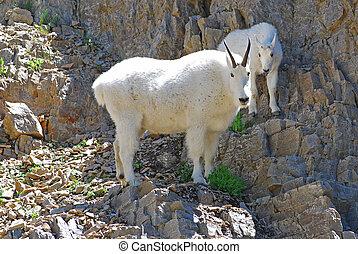 Mountain goats. Mother and baby mountain goat climbing a ...  Mountain goats....