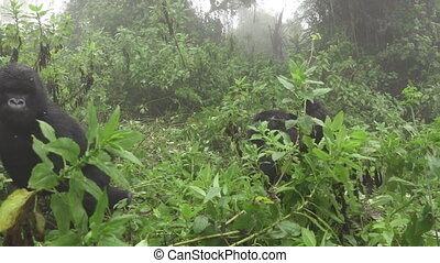 Mountain gorilla escapes from tourists - Side view of...