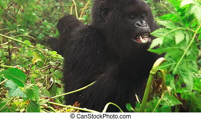 Mountain gorilla face feeding in super slow motion - Front...