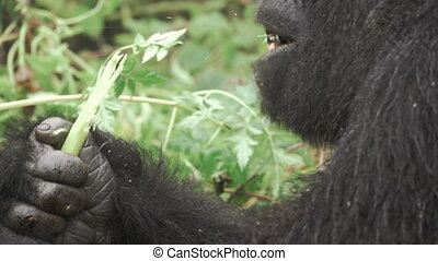 Mountain gorilla face feeding in the forest in slow-mo -...