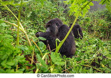 Mountain gorilla feeding in the forest - Profile of mountain...