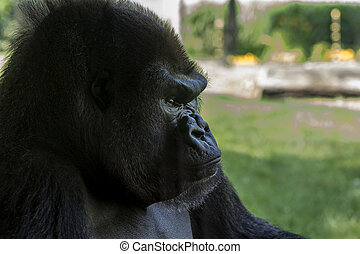 Mountain Gorilla - Close up photo of a Mountain Gorilla as...