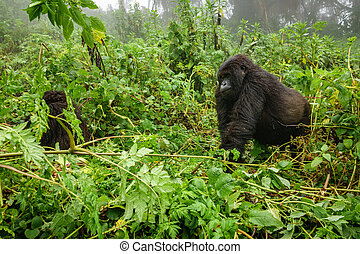 Mountain gorilla walking in the forest - Profile of mountain...