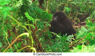 Mountain gorillas in the wild of the forest, zoom out - Zoom...