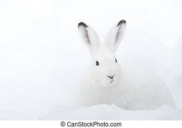 Mountain Hare (lat. Lepus timidus) with white fur sitting in...