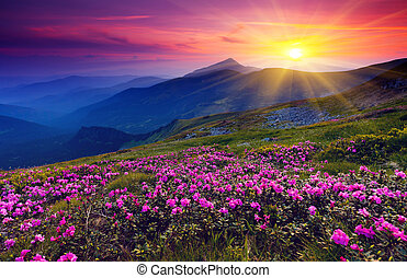 mountain landscape - Magic pink rhododendron flowers on ...