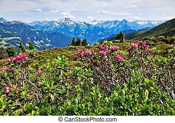 Mountain landscape with Alpine Roses in the foreground. Zillertal Valley, Zillertal Alpine Road, Austria, Tyrol.