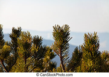 Mountain landscape with pine trees