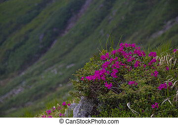 Mountain landscape with rhododendron flower