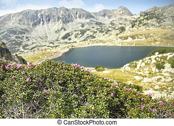 Mountain Landscape with Rhododendron kotschyi Flowers