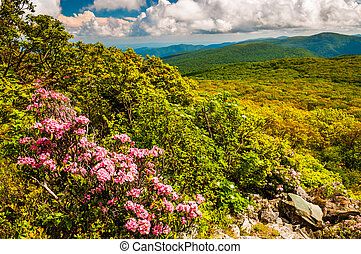 Mountain laurel and view of the Appalachians on Stony Man...