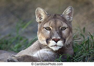 Mountain Lion - A close up shot of a mountain lion (Puma ...