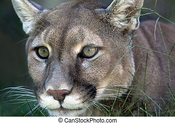 A close up shot of a mountain lion (Puma concolor) laying in the grass stalking its prey.