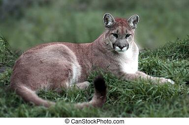Mountain Lion - a mountain lion