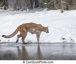 Mountain Lion at Triple D Game Farm - Mountain Lion trying...