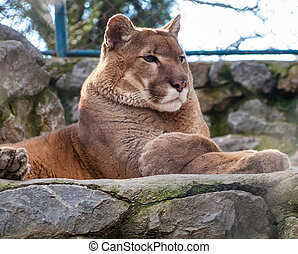 Mountain lion chilling out