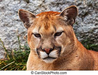 Mountain Lion Closeup Head Cougar Looking at You Puma Concolor