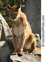 Mountain Lion Cougar Looking for Prey. The Mountain Lion is...