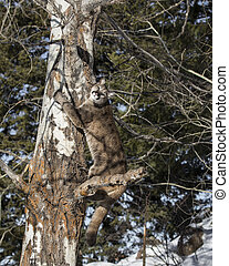 Mountain Lion Cub in a tree