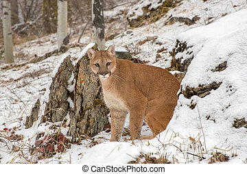 Mountain Lion emerging from between rocks in Winter in the Snow