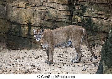 Mountain Lion Exiting a Deep Canyon