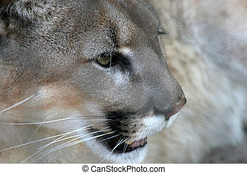 Mountain Lion face - The face of a fierce mountain lion