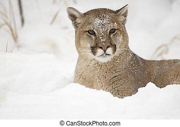 Mountain Lion in deep snow