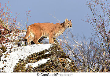 Mountain Lion on a Snowy Ledge in Winter