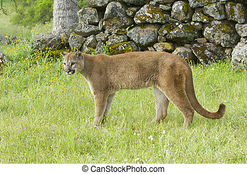 Mountain Lion on green grass with rocks in background