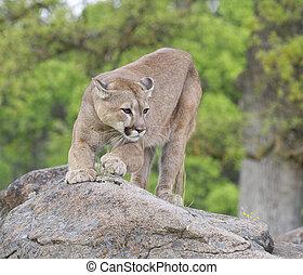 Mountain Lion on rocks