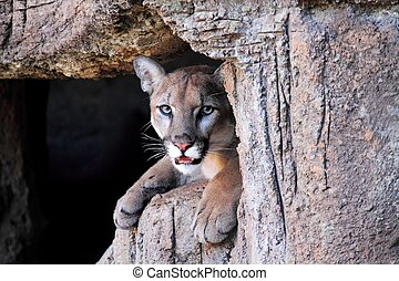 Mountain Lion (Puma concolor) also known as a Cougar or Puma