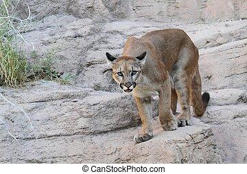 Mountain Lion (Puma concolor) also known as a Cougar or Puma