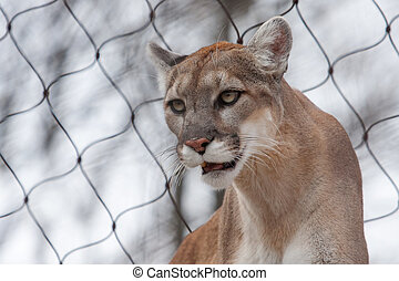 Mountain Lion- Puma - Cougar close up