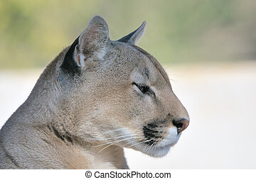 Mountain lion, puma or cougar
