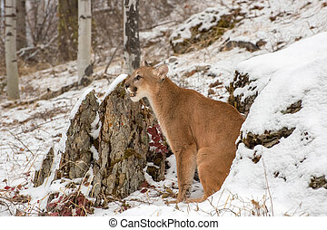 Mountain Lion Sitting Between Large Rock Grouping in the Snow in Winter