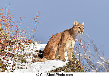 Mountain Lion Sitting on a Snowy Ledge in Winter
