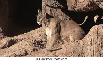 Mountain Lion - Cougar laying down